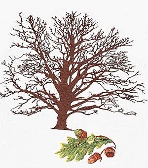 Oak tree by Thea Gouverneur