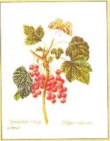 Currant Vine,GOK2084,Thea Gouverneur